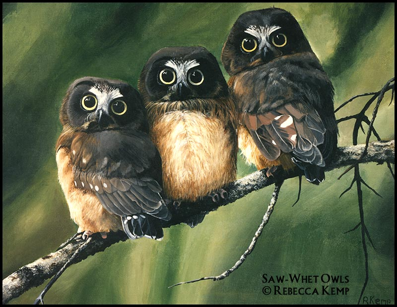 Baby saw whet owls
